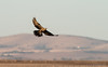 Black Falcon (chrissteeles) Tags: blackfalcon falcon raptor birdofprey bird birding adelaideplains southaustralia sa