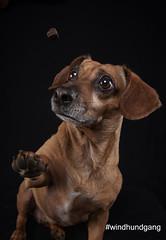 Amy (marcusgier) Tags: schnappschus hund dog dackel treat funny