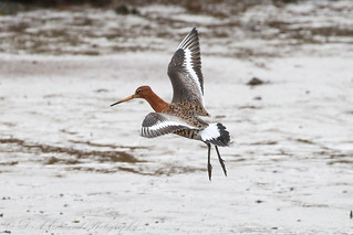 Black Tailed Godwit - Male in summer plumage