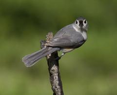 Tufted Titmouse (AllHarts) Tags: tuftedtitmouse backyardbirds memphistn thesunshinegroup naturescarousel feathersbeaks ourwonderfulandfragileworld