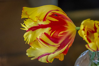 tiger tulip jarred