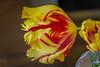 tiger tulip jarred (Pejasar) Tags: cut tulip tigertulip flower bloom blossom garvanwoodlandgardens hotsprings arkansas office
