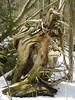 Nature's sculpture (Kaarina Dillabough) Tags: sculpture natural forest woods