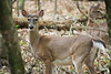 White-tailed deer (bkjones857) Tags: deer whitetailed whitetail animal woods battleground forest trees outdoors nature wildlife