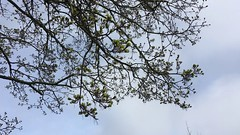 Norway Maple (Acer platanoides) - branches & flowers - April 2018 (Exeter Trees UK) Tags: norway maple acer platanoides branches flowers april 2018