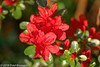 "In our garden, ""Red Azalea"" (Fred / Canon 70D) Tags: redazalea azalea garden eefde spring spring2018 ef100mmf28lmacroisusm canon70d canoneos canon rhododendron"
