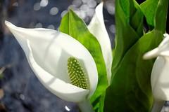 pure/きよらかなり (kurupa_m) Tags: wildgrass white flower plant macro fujifilm xt10 hokkaido spring 水芭蕉 ミズバショウ 山野草 白 北海道 春