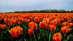 LISSE, THE NETHERLANDS (pwitterholt) Tags: lisse orange oranje tulpen tulips tulip tulp tulipfields tulpenvelden canon canoneosm3 kingsday koningsdag zuidholland