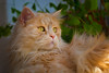 Signs on the hair front seem to indicate that it's windy ! (FocusPocus Photography) Tags: linus tier animal pet haustier cat chat gato ginger windig windy katze kater