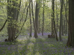 Promenons-nous dans les bois ** (Titole) Tags: wood forest titole nicolefaton backlit bluebell many wildflowers trunks trunk leaves green thechallengefactory friendlychallenges