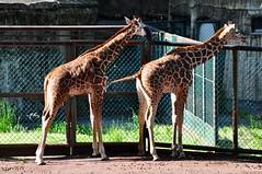 子供キリン (yuki_alm_misa) Tags: 多摩動物公園 tamazoologicalpark zoo 動物園 キリン giraffe