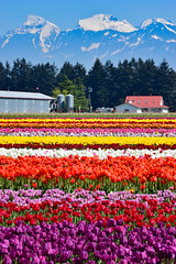 Tulips of the Valley (James_D_Images) Tags: tulips field rows farm buildings coastal mountain range trees chilliwack tulip festival tulipsofthevalley britishcolumbia fraservalley colourful purple red orange white yellow green snow peak