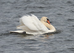 Mute Swan(Cygnus olar) (jdathebowler Thanks for 2 Million + views.) Tags: muteswan cygnusolar wildfowl swan