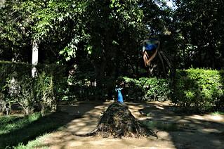 Peacocks Fight Alcazar Sevilla