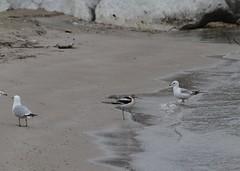 A toe-dipping avocet with some ring-billed gulls (Rita Wiskowski) Tags: avocet americanavocet shorebird wisconsin milwaukee
