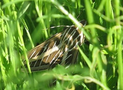 White-lined Sphinx Moth (Bug Eric) Tags: animals wildlife nature outdoors insects bugs moths sphinxmoths sphingidae lepidoptera austin texas usa whitelinedsphinx hyleslineata bartoncreekgreenbelttrail northamerica april232018