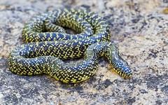Speckled Kingsnake [Lampropeltis holbrooki] (kkchome) Tags: herping herp herpetology reptile speckled kingsnake lampropeltis holbrooki missouri usa nature wildlife fauna