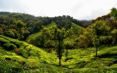 India - Kerala - Munnar - Tea Plantation - 43 (asienman) Tags: india kerala munnar teaplantagen asienmanphotography