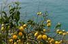 Joyeuses Pâques à tous, à toutes ! Happy Easter to all of you ! (Larch) Tags: citron lemon fruit citronnier lemontree tonique bright color couleur mer sea méditerrannée blue bleu jane yellow leave tree pâques easter joyeusespâques happyeaster cinqueterre ligurie italie italy italia riomaggiore