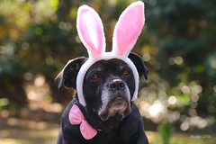 """IMG_012357 - I had a dream...... (Monique van Gompel) Tags: 7dwf """"canecorso"""" """"dogportrait"""" """"happyeaster"""" pets dog zaynah tamronsp90mmf28dimacro11vcusd canoneos80d easter dream flickrfriday pasen paashaas bunny"""