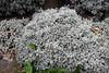 Tanacetum densum subsp. amani Heywood - Kew Gardens (Ruud de Block) Tags: kewgardens ruuddeblock royalbotanicgardens compositae tanacetumdensumsubspamani tanacetum densum amani