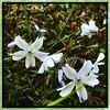 Phlox. #Takoma #dc #dclife #washingtondc #iphone #iPhonemacro #macro  #flower #flowersofinstagram (Kindle Girl) Tags: iphone takoma dc dclife washingtondc iphonemacro macro flower flowersofinstagram