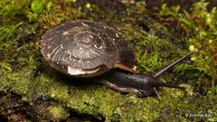 Snail (Ecuador Megadiverso) Tags: amazon andreaskay ecuador gastropoda mollusca rainforest snail