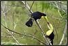 D75_8318l (Venumi) Tags: keel billed toucan