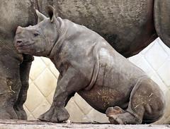 black Rhino Mara Blijdorp BB2A7957 (j.a.kok) Tags: neushoorn rhino rhinoceros animal africa afrika zwarteneushoorn blackrhinoceros blackrhino puntlipneushoorn mara naima mammal zoogdier dier herbivore blijdorp