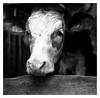 . (irgendwiejuna) Tags: cow blackandwhite selfdeveloped caffenol ilforddelta100 ilfordfilm rollei rollei35te nopeople