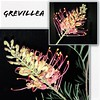 Native Grevillea flowers (Aussie~mobs) Tags: pretty australia native flower grevillea