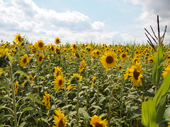 BEFORE - Many sunflower turned Sun on the  farm field (Ciddi Biri) Tags: sunflower field crop foodindustry farm farming agriculture village farmlandscape landscape summer yellowflower bigflower sunnyday sunny cloudysky m43turkiye penepl3 1442iir kitlens
