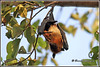 7769 - flying fox (chandrasekaran a 49 lakhs views Thanks to all.) Tags: fruitbat flyingfox mammals nature india chennai canoneos6dmarkii tamronsp150600mmg2