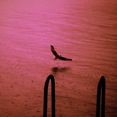 (blazedelacroix) Tags: rain bird water ocean blazedelacroix square drops rosé tumblr pink sunset pluie resarö sony rx100