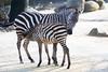 Zebra (Cloudtail the Snow Leopard) Tags: zebra steppenzebra pferd tier säugetier mammal animal horse common burchellequus quagga burchellii zoo stadtgarten karlsruhe