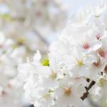 Cherry blossoms sakura (桜満開)