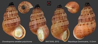 chondropoma vanattae polychroma republique dominicaine 13mm8