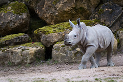 White rhinoceros (Cloudtail the Snow Leopard) Tags: nashorn weises weisses breitmaulnashorn ceratotherium simum tier animal mammal säugetier white square lipped rhino rhinoceros zoo amneville