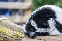 Dreaming (Photography by Martijn Aalbers) Tags: vari monkey ape beast animal mammal aap beest dier life leven zoo dierentuin park parc nature natuur deapenheul apeldoorn gelderland guelders canoneos77d ef70200mmf4lisusm wwwgevoeligeplatennl