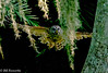 Barred Owl Flying Thru the Moss (Bill Foxworthy) Tags: barred owl bied flying bath moss tree