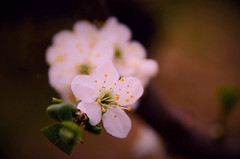 Spring beauty (DrQ_Emilian) Tags: flower plant tree garden floral blossom nature spring season light color details bokeh macro closeup beautifull photography hobby outdoors mood nikon