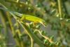 Green Anole with breakfast 500_8537.jpg (Mobile Lynn) Tags: nature reptiles greenanole lizard anoliscarolinensis carolinaanole fauna reptile wildlife islamorada florida unitedstates us specanimal