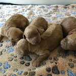 Rosie and Jax's 5 girls and 4 boys ! This litter goes home on June 2nd ! All of Rosie's  puppies are reserved