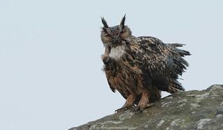 Eagle Owl 18ig6398