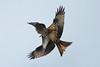 Clash Of The Kites (Hugobian) Tags: bird birds prey nature wildlife fauna stilton flight pentax k1 red kite