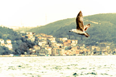 Istanbul seagull (-REcallable-Memories-of-ET-) Tags: 2018 esze hungary istambul istanbul isztambul nikon tamas turkey sea seagull bird vogel