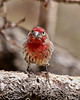 """""""Hey pal, when you're counting backwards, I heard you'll stop at nothing to avoid being negative."""" (Parowan496) Tags: finch tree red housefinch male mouthy apricottree spring"""