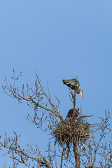 Great Blue Heron Rookery (Paul Plummer) Tags: great blue heron rookery ne minneapolis minnesota