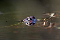 Common frog (Patrik Nilsson) Tags: frog mating frogs solberga solbergaskogen vanliggroda commonfrog