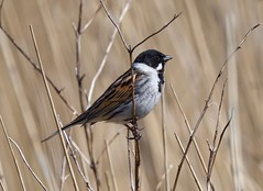 Reed Bunting (John Assheton) Tags: bird bunting reedbunting nwtcley northnorfolk